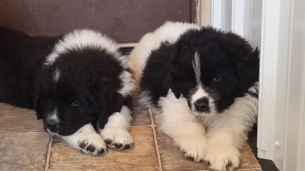 Available landseer males