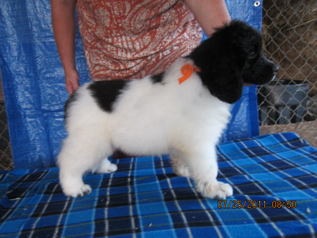 Ch.Waterlords Chf Silver Cloud x Sugar Bears Dolly Madison son pictured at 8 wks