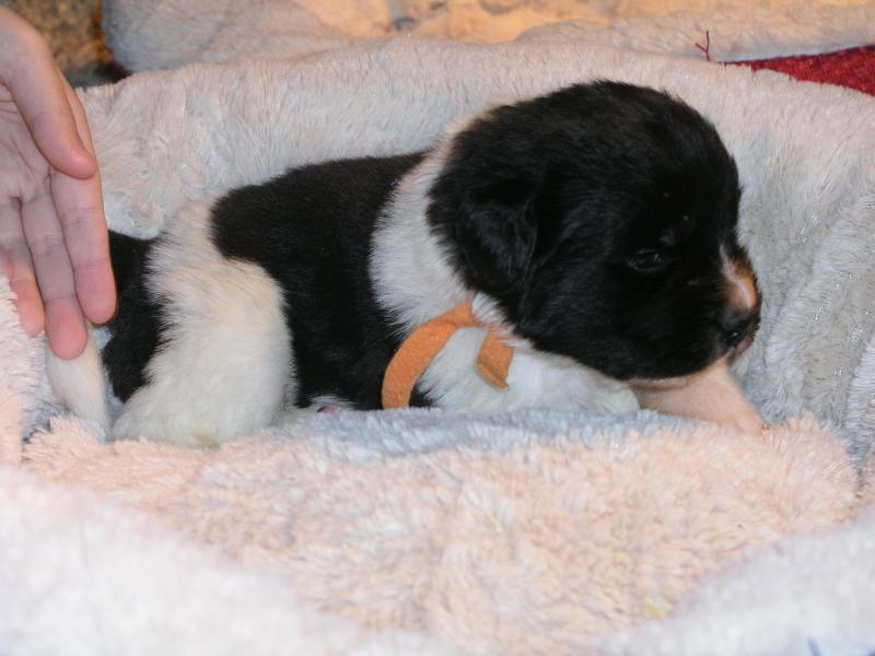 Shiloh was the orange girl in Lucy's litter 2-22-11