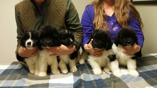 Shiloh x Revere landseer boys at their first checkup at 7.5 weeks.